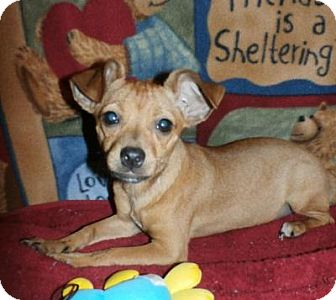 Chihuahua/Terrier (Unknown Type, Small) Mix Puppy for adoption in Olympia, Washington - Scarlett