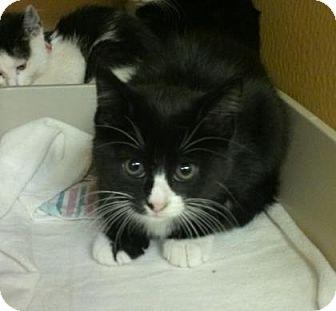 Domestic Shorthair Kitten for adoption in Cleveland, Ohio - Billie Jean