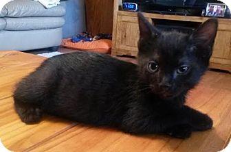 Manx Kitten for adoption in Auburn, Alabama - Tarzan