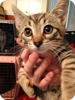 Domestic Shorthair Kitten for adoption in Warren, Michigan - Tyler