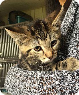 Domestic Shorthair Kitten for adoption in Greensburg, Pennsylvania - Trump