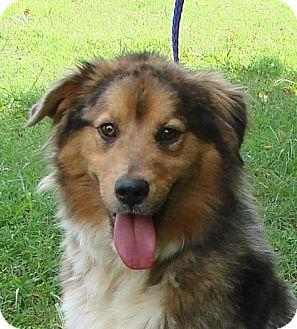 Australian Shepherd Mix Dog for adoption in Erwin, Tennessee - Sebastian