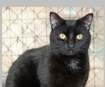 Domestic Shorthair Cat for adoption in Pittsboro, North Carolina - Levy