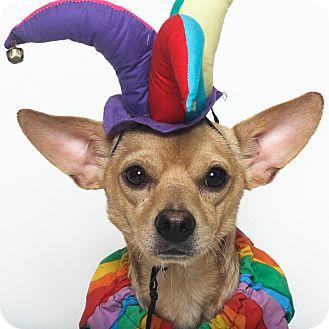 Chihuahua Mix Dog for adoption in Stockton, California - Wally