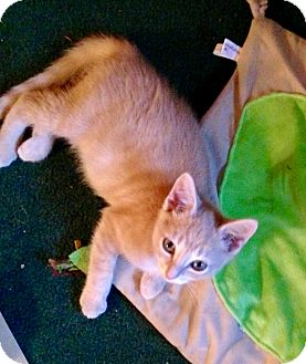 Domestic Shorthair Kitten for adoption in Southington, Connecticut - Scotty