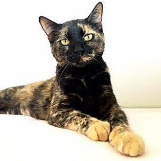 Domestic Shorthair Cat for adoption in Denver, Colorado - Lottie
