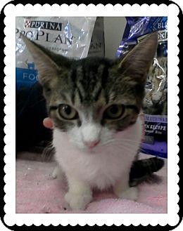 Domestic Shorthair Kitten for adoption in Trevose, Pennsylvania - Macaroni