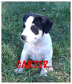 Australian Shepherd/Shepherd (Unknown Type) Mix Puppy for adoption in Tempe, Arizona - Carter