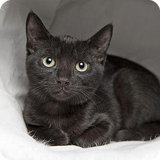 Domestic Shorthair Kitten for adoption in Wilmington, Delaware - Eclipse