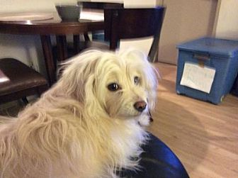 Maltese/Chinese Crested Mix Dog for adoption in Rancho Santa Margarita, California - ZZ-Teddy *courtesy post