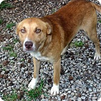 Adopt A Pet :: Rhodes Aussie Mix Boy - Rowayton, CT