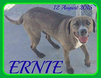 Weimaraner/Labrador Retriever Mix Dog for adoption in White River Junction, Vermont - ERNIE
