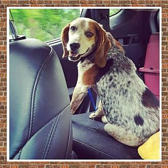 Beagle/Bluetick Coonhound Mix Dog for adoption in Westminster, Maryland - Emmitt