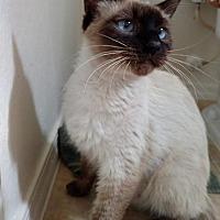 Siamese Cat for adoption in Scottsdale, Arizona - Diana