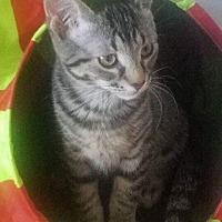 Adopt A Pet :: Atticus - LaGrange Park, IL