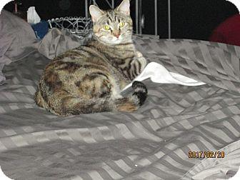 Domestic Shorthair Kitten for adoption in Jeffersonville, Indiana - Sadie