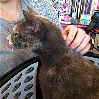 Adopt A Pet :: Creme Brule - Seminole, FL