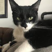Adopt A Pet :: Reishi - Ellicott City, MD