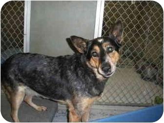 "Australian Cattle Dog Mix Dog for adoption in MARION, Virginia - ""Shy Girl"""