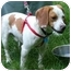 Photo 2 - Beagle Dog for adoption in Waldorf, Maryland - Patrick