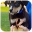Photo 1 - Border Collie/Shepherd (Unknown Type) Mix Puppy for adoption in Westminster, Colorado - Twix