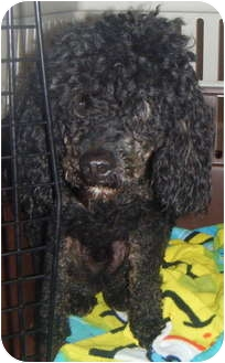 Poodle (Miniature) Dog for adoption in Loudonville, New York - Bambino