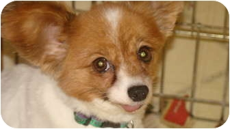 Papillon Dog for adoption in Millersburg, Ohio - Ivy
