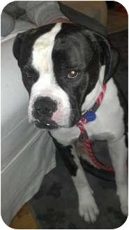 American Bulldog Mix Dog for adoption in Tujunga, California - Buckley