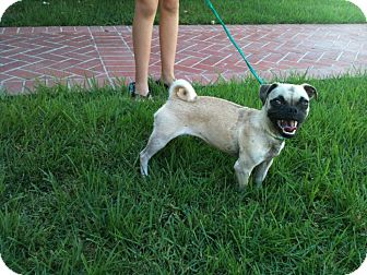 Pug Puppy for adoption in Anaheim, California - Grace