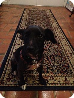Toy Fox Terrier/Toy Poodle Mix Dog for adoption in Mt Gretna, Pennsylvania - Gil