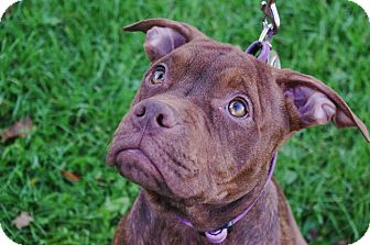 American Pit Bull Terrier Mix Puppy for adoption in Reisterstown, Maryland - Boxy