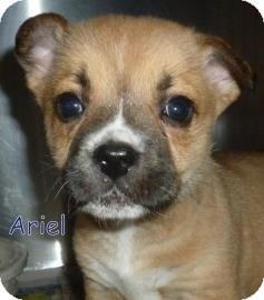 Shepherd (Unknown Type)/Retriever (Unknown Type) Mix Puppy for adoption in Georgetown, South Carolina - Ariel