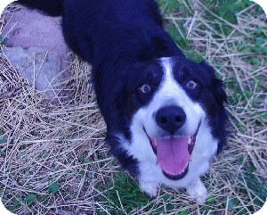 Border Collie Dog for adoption in Oliver Springs, Tennessee - Jack