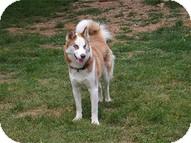Siberian Husky Dog for adoption in Madison, Wisconsin - Skipper
