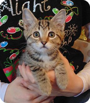Domestic Shorthair Kitten for adoption in Nashville, Tennessee - mistletoe