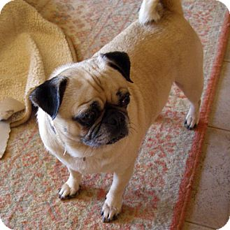Pug Mix Dog for adoption in El Cajon, California - Angel