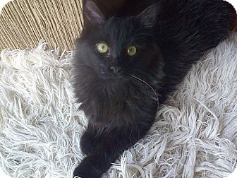 Domestic Mediumhair Kitten for adoption in West Hills, California - Phoenix