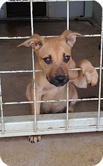 Black Mouth Cur/Labrador Retriever Mix Puppy for adoption in Pluckemin, New Jersey - Ariel