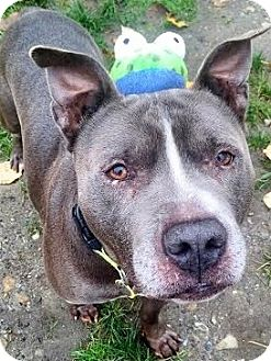 American Staffordshire Terrier/Boxer Mix Dog for adoption in Snohomish, Washington - Brustus!  Best bully buddy!