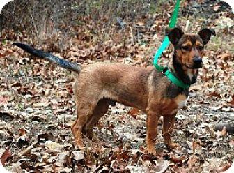 Basset Hound/Shepherd (Unknown Type) Mix Puppy for adoption in Chalfont, Pennsylvania - Gordon