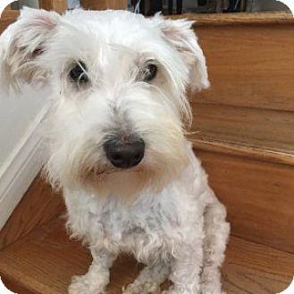 Schnauzer (Miniature)/Westie, West Highland White Terrier Mix Dog for adoption in Redondo Beach, California - Campbell