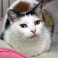 Domestic Shorthair Cat for adoption in Pacific Grove, California - Mitze