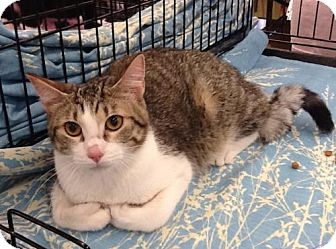 Domestic Shorthair Cat for adoption in San Antonio, Texas - Diego