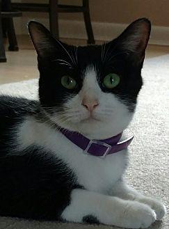 Domestic Shorthair Cat for adoption in Trevose, Pennsylvania - Valerie