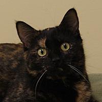 Domestic Shorthair Kitten for adoption in Dundee, Michigan - Pecan