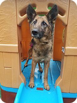German Shepherd Dog Dog for adoption in Louisville, Kentucky - Princess