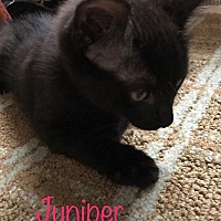 Adopt A Pet :: Juniper - Covington, KY
