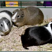 Guinea Pig/Guinea Pig Mix for adoption in Frederick, Maryland - BUSTER