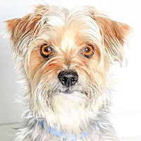 Yorkie, Yorkshire Terrier/Fox Terrier (Toy) Mix Dog for adoption in Oakland, California - TUCKER