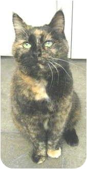 Domestic Shorthair Cat for adoption in Mesa, Arizona - Pepper